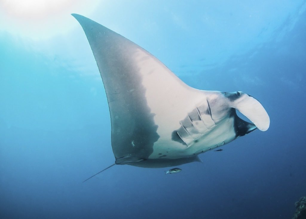 Oceanic Manta at Blue Magic raja ampat