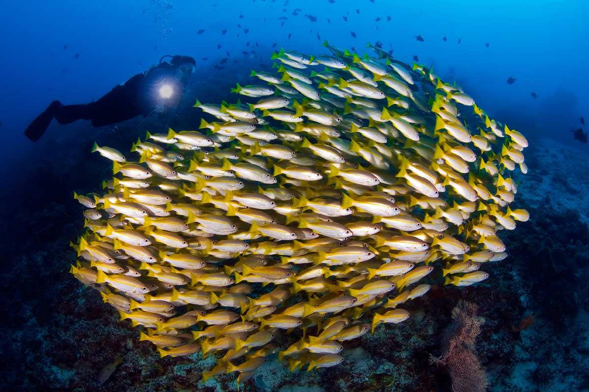 a school of yellow fish with diver in the background while raja ampat scuba diving