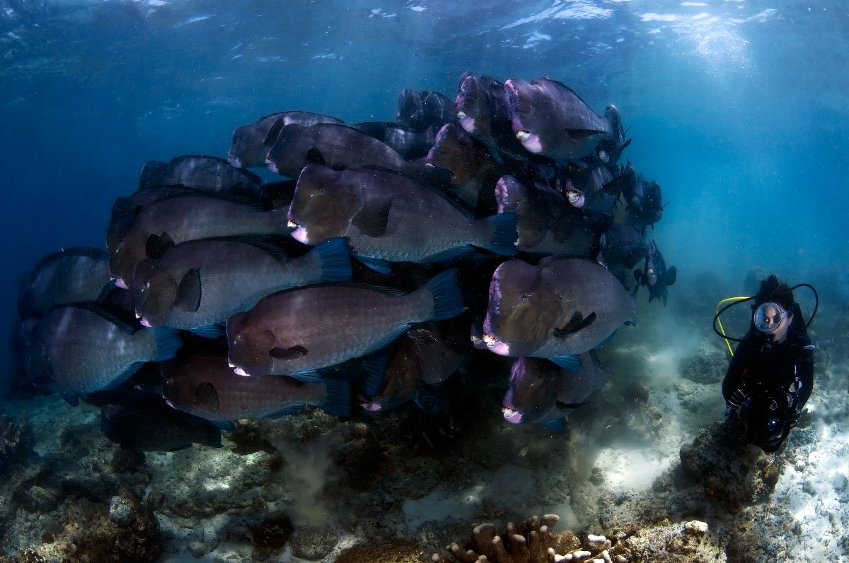 scuba diver next to a school of humphead parrotfish underwater while diving in raja ampat