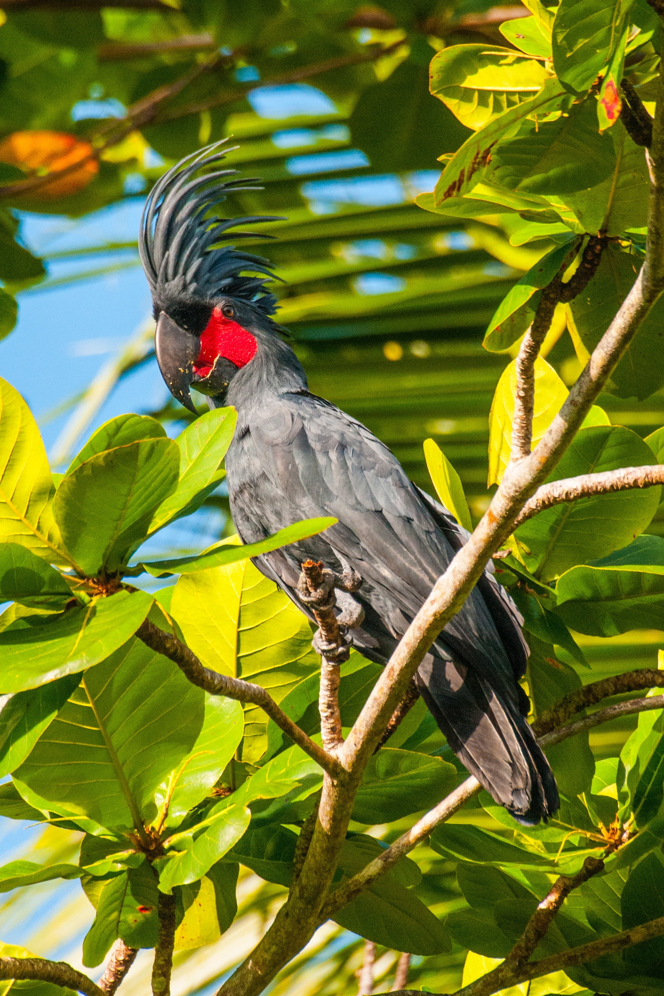 black cockatoo with red cheeks and high mane sitting on a tree at Papua Explorers Dive Resort