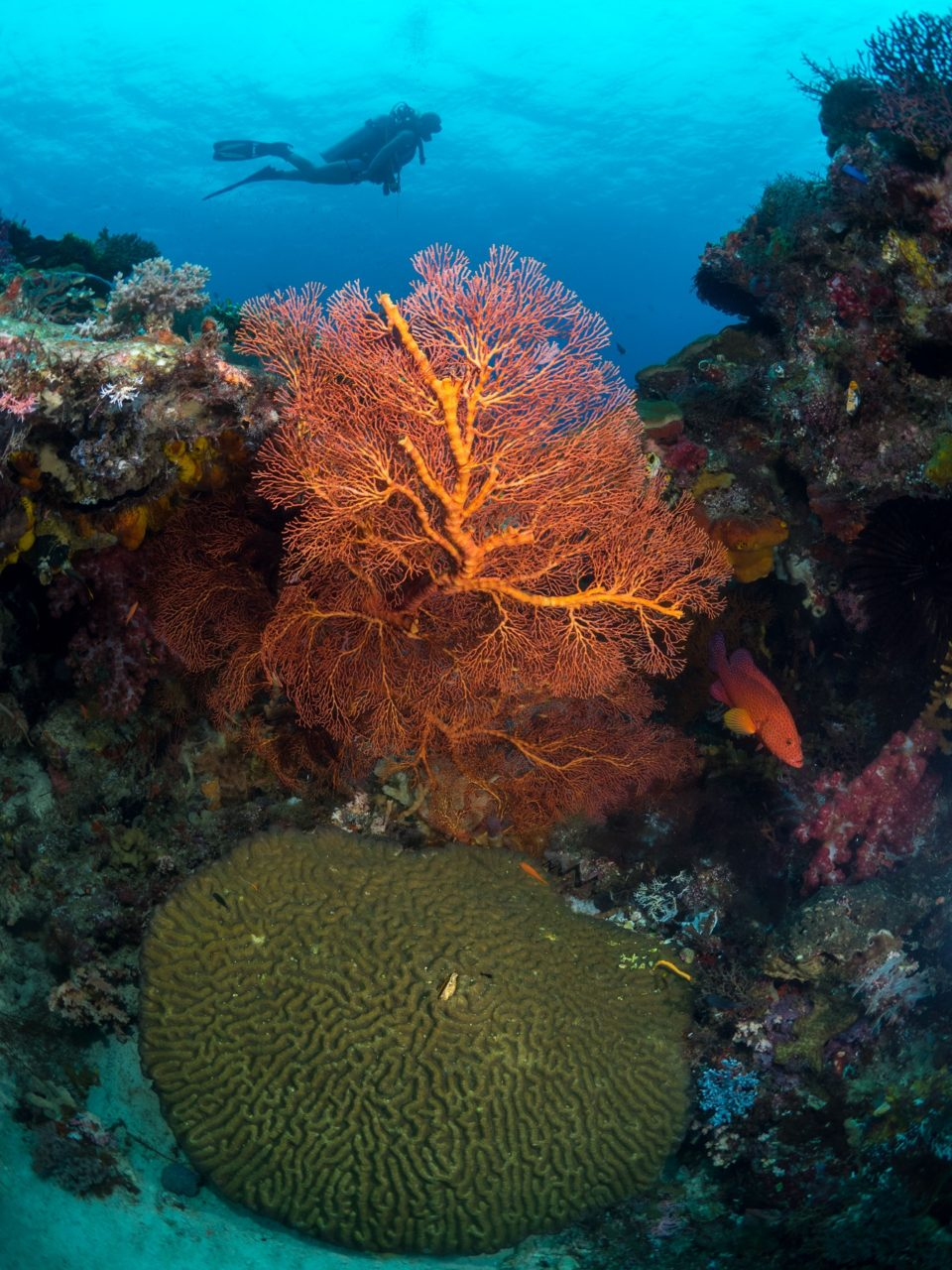 colorful hard and soft corals with a diver in the background while diving with Papua Explorers