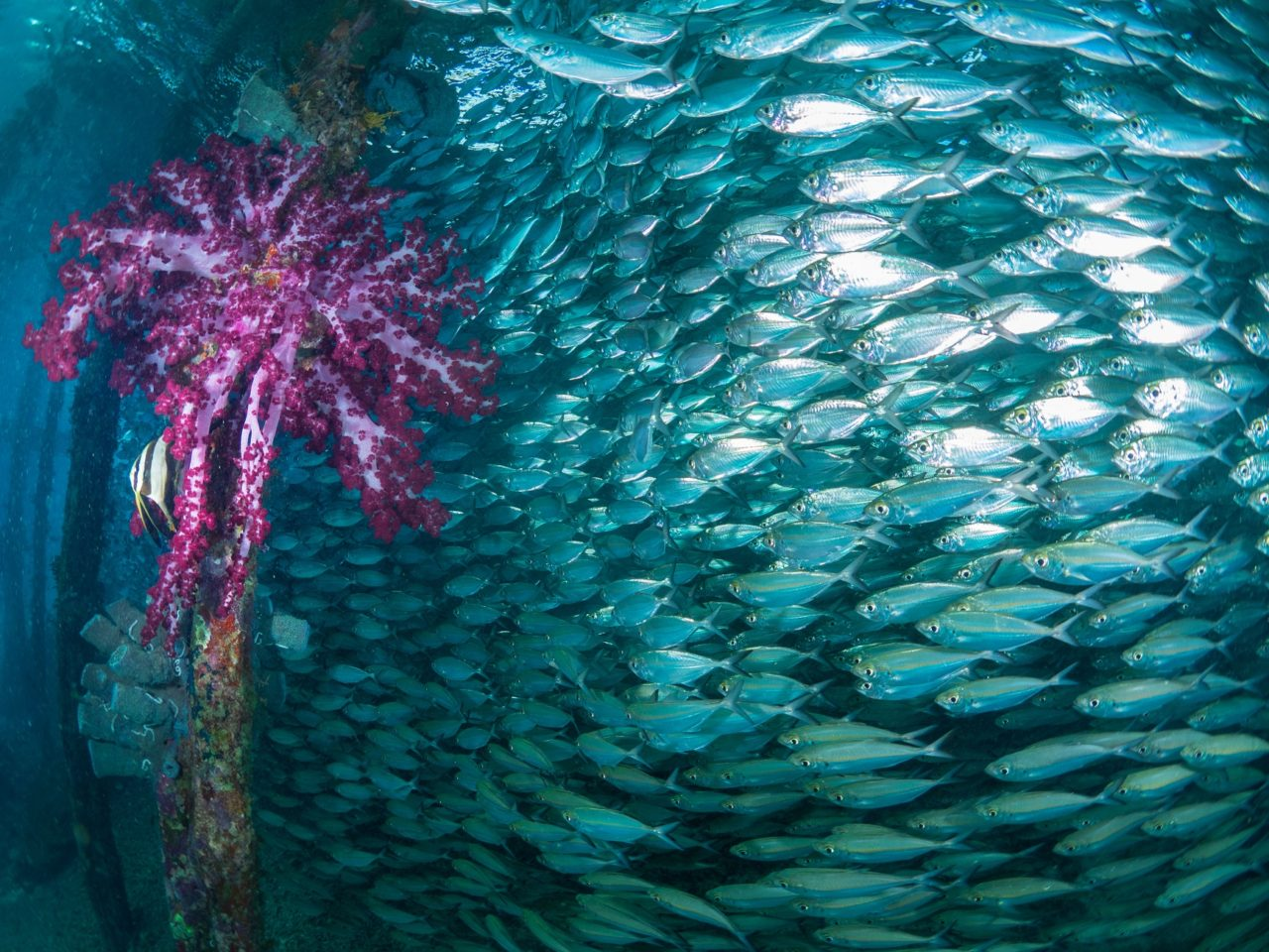 a huge school of fish and purple soft coral under Arborek jetty in Raja Ampat