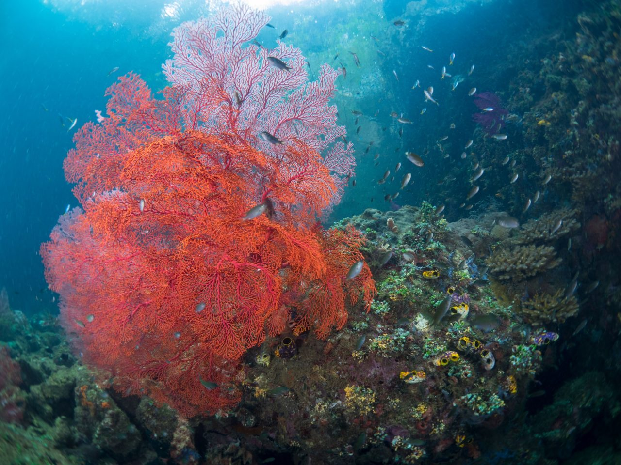 beautiful red soft coral spotted while diving close to Papua Explorers Dive Resort
