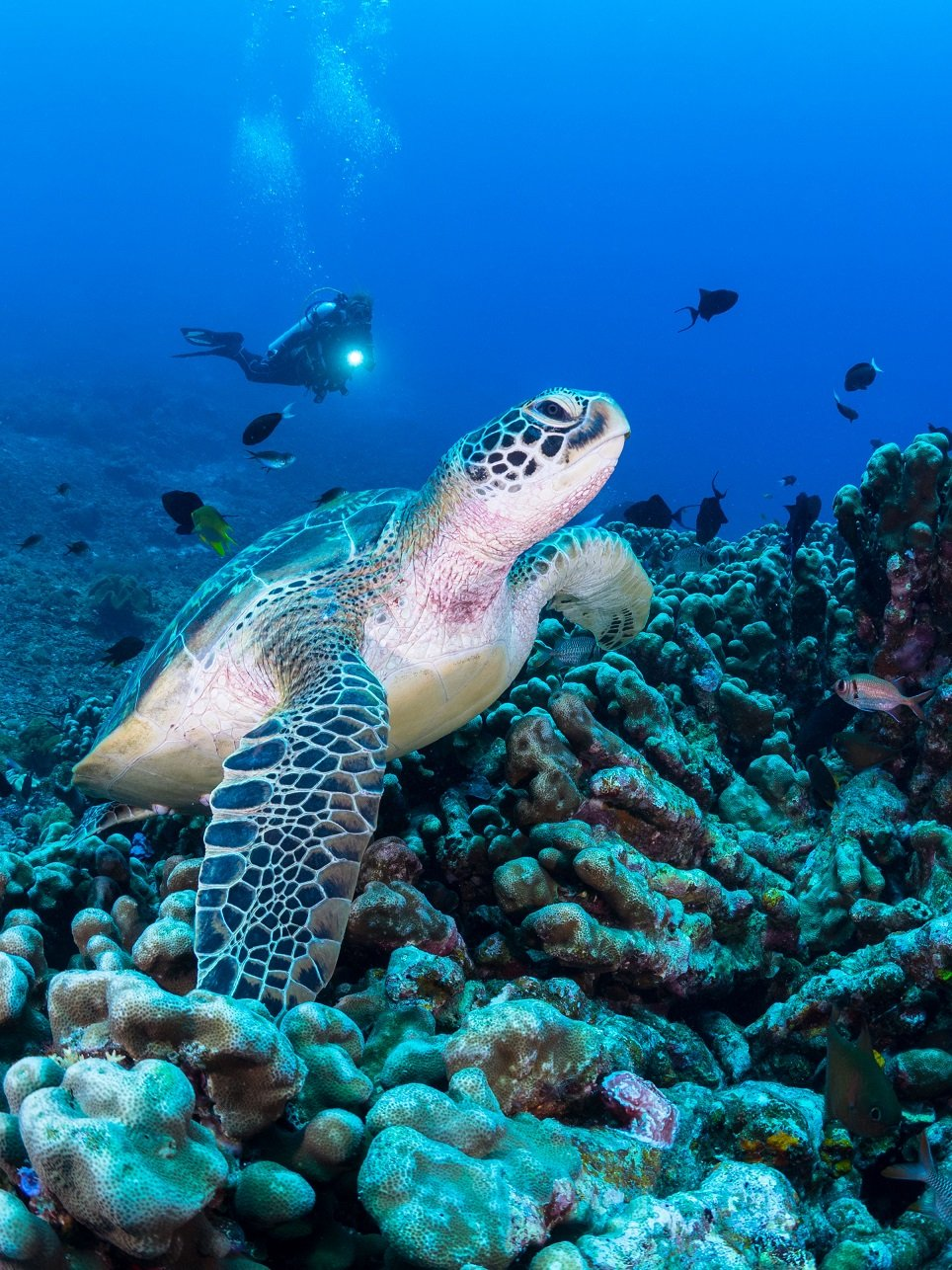 green turtle sitting on the reef with diver in the background encountered while diving with Papua Explorers