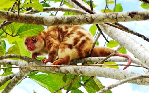 (English) spotted marsupial called kuskus on a branch in the garden of our dive resort in Raja Ampat