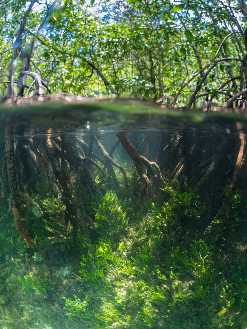 mangrove roots while snorkeling in Raja Ampat