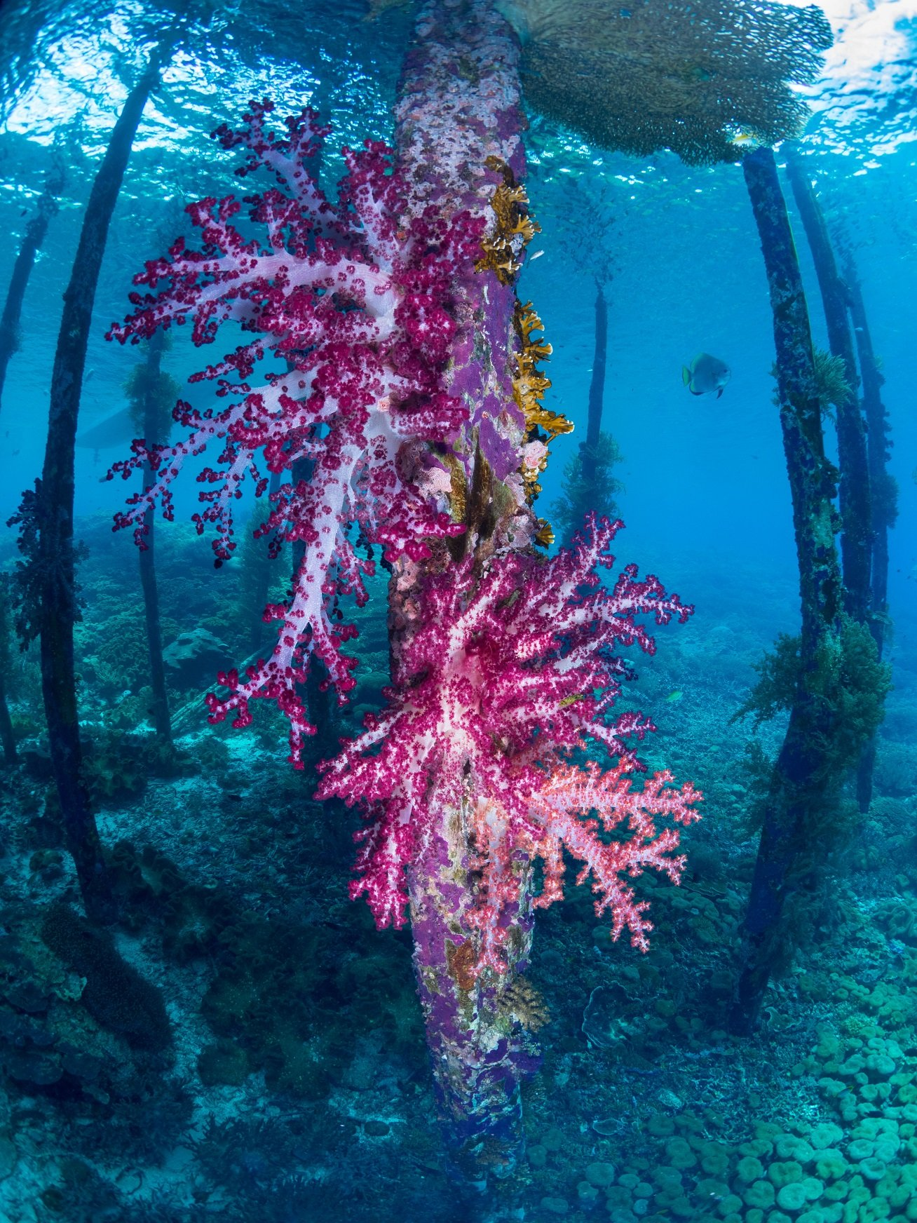 abundant growth of a voilet soft coral under a jetty while diving with Papua Explorers