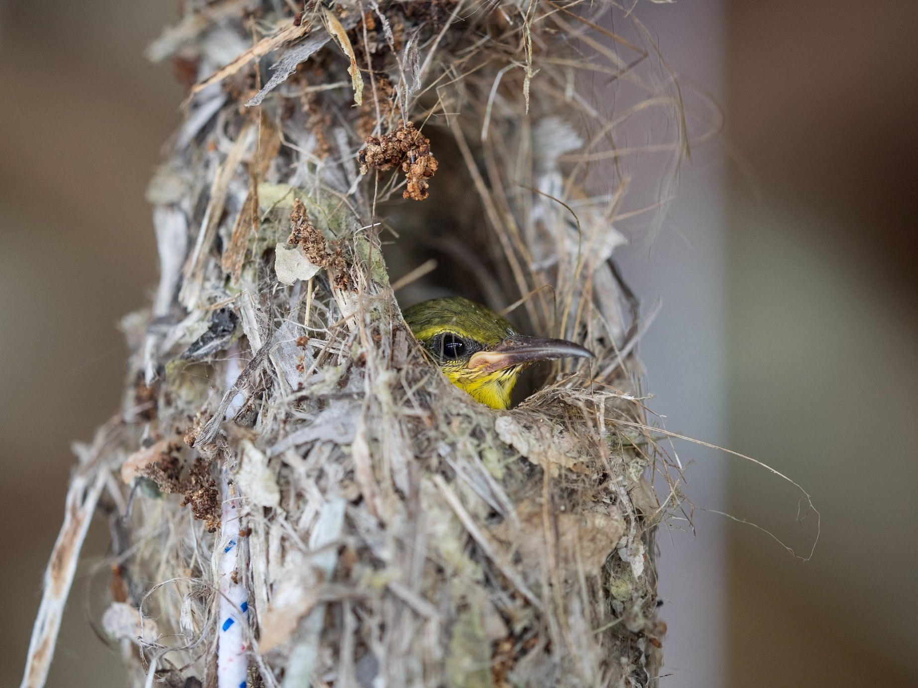 small green and yellow tropical bird looking out from a hole in its nest encountered close to Papua Explorers Dive Resort