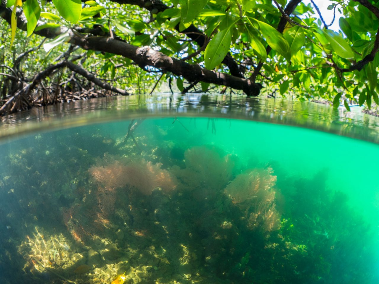 (English) colorful soft corals in shallow water with mangroves soaring above during snorkeling in Raja Ampat