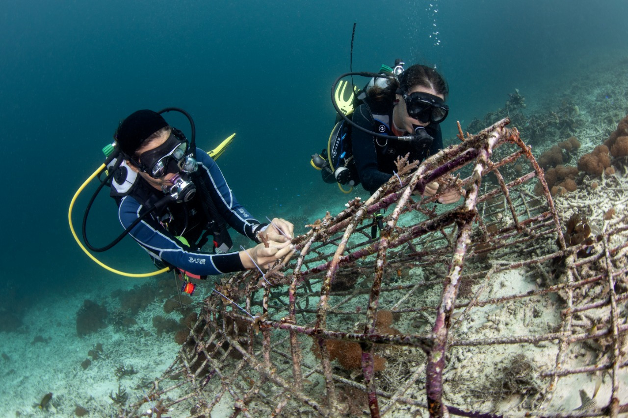 two scuba divers fixing coral fragements on a structure, coral conservation during Raja Ampat lockdown