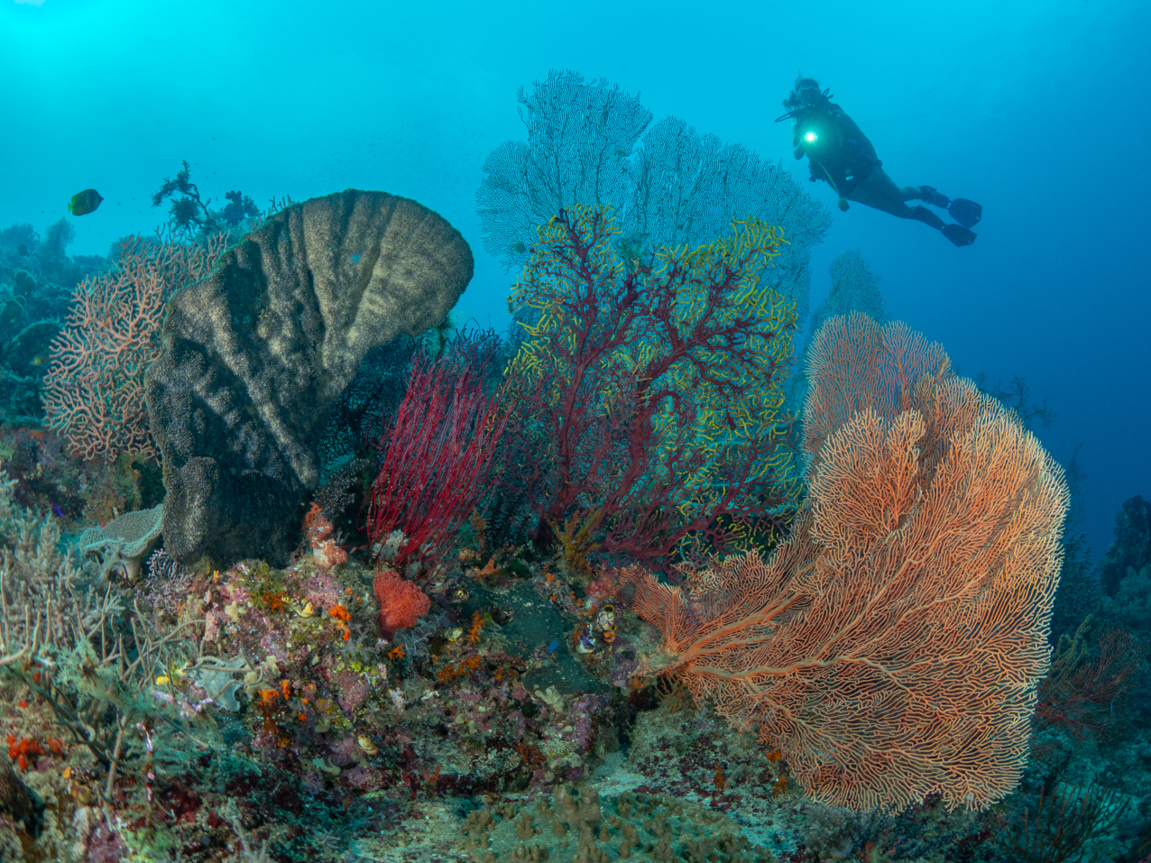 (English) several aquatic plants in fan-shape with a scuba diver in the background