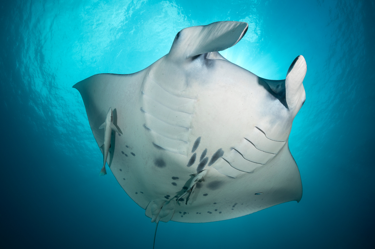 photo of the belly markings of a manta ray for easy identification