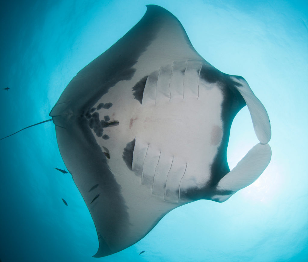 the belly of a giant manta ray