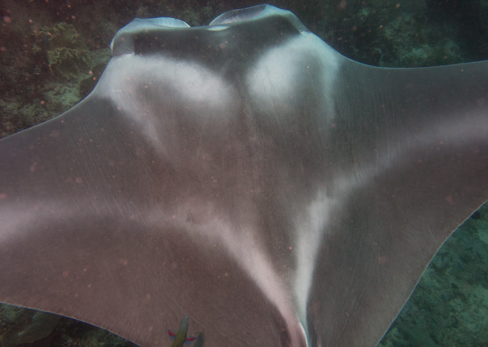 reef manta ray from the top