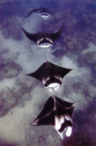 several manta rays swimming behinf one another in raja ampat, as a courtship ritual