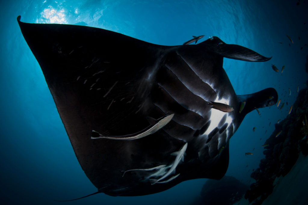 a mainly black manta ray, photo taken in Raja ampat, showing its belly