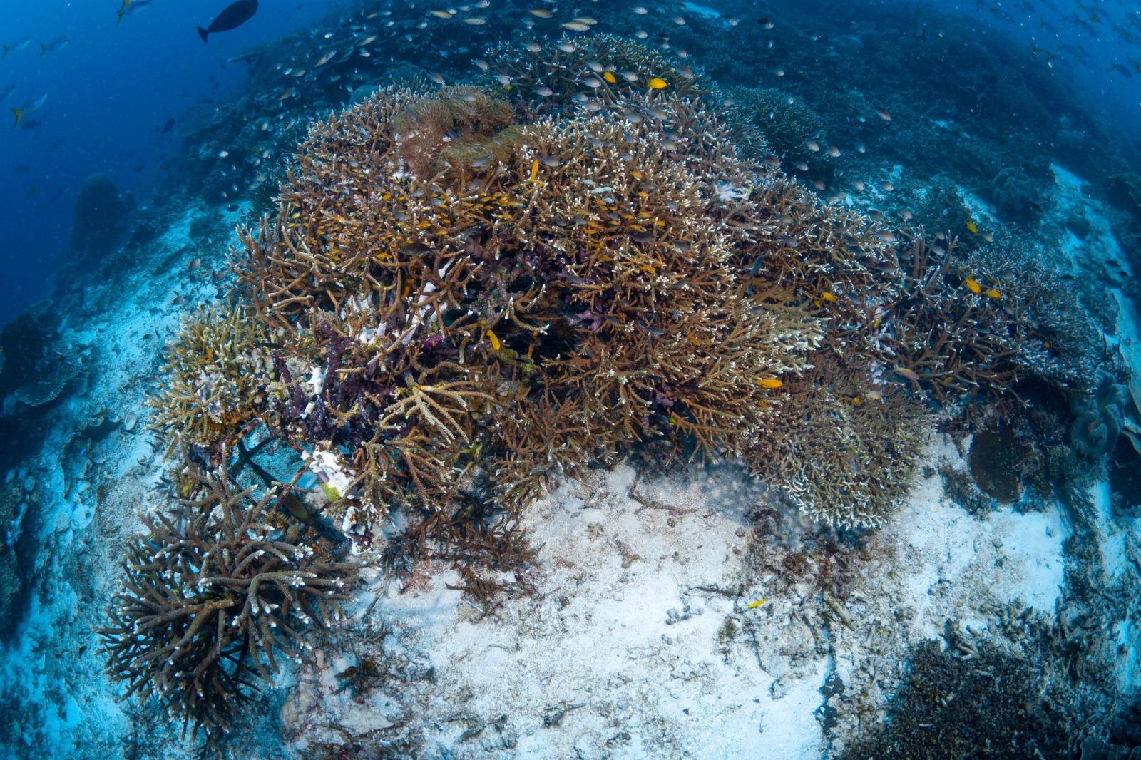 Coral Planting in Raja Ampat during COVID-19