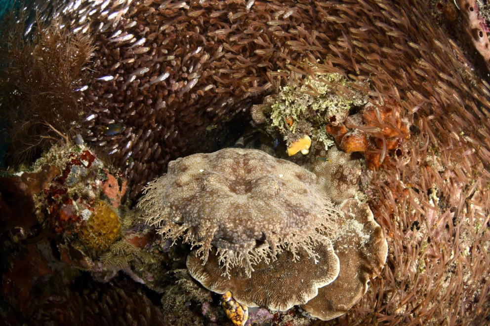 Wobbegong shark at Papua Explorers in Raja Ampat
