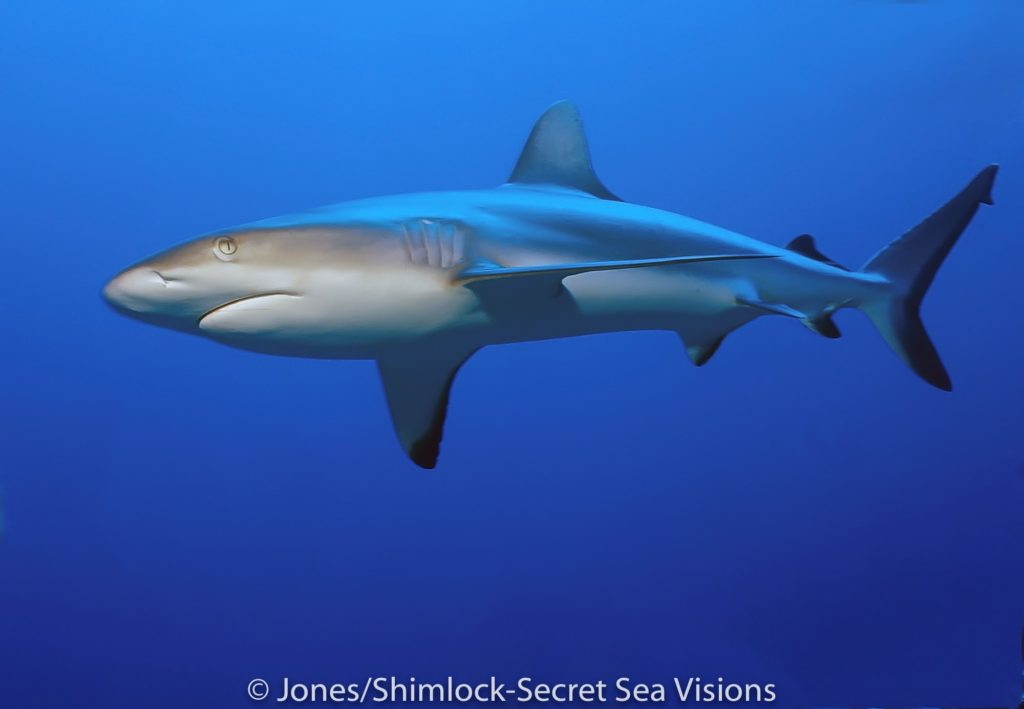 grey reef sharks can sometimes be observed swimming in the blue