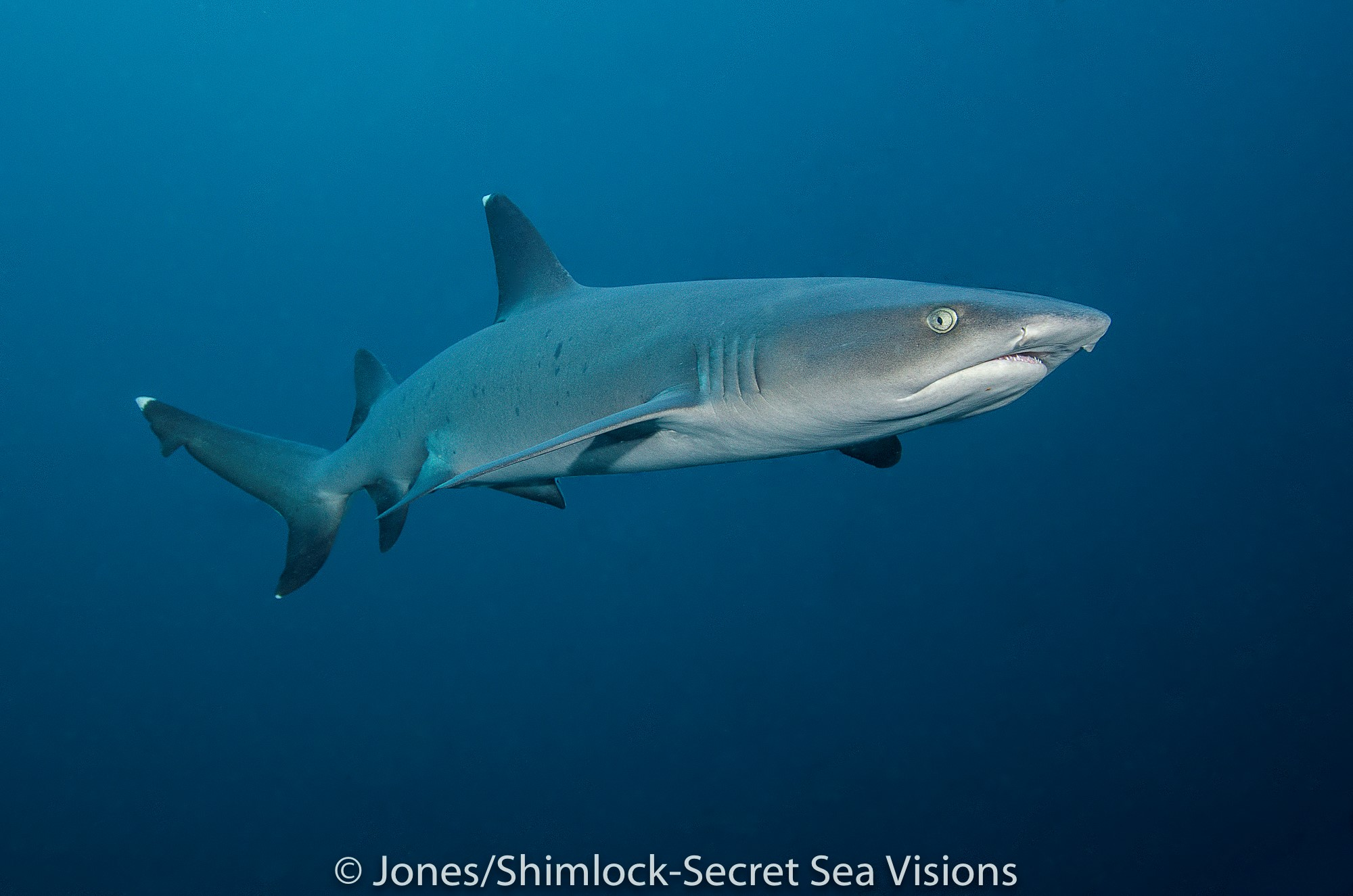 white tip reef sharks can be spotted on many dive sites in Raja Ampat
