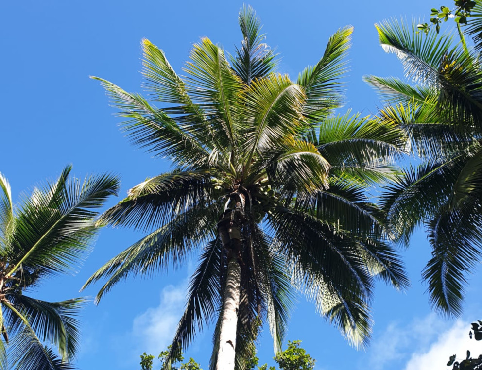 the tops of three palm trees with blue sky background in Raja Ampat
