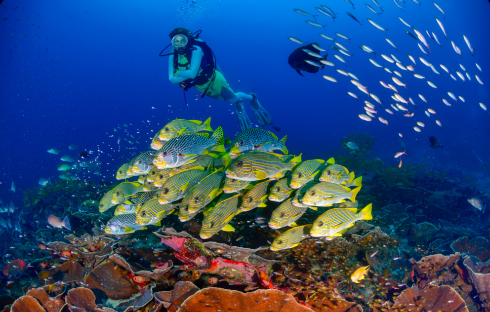 scuba diver behind a group of yellow sweetlips underwater in Raja Ampat