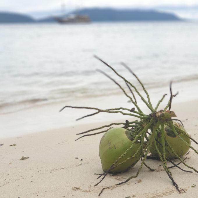 (English) Coconuts in Raja Ampat – Delicious and Versatile