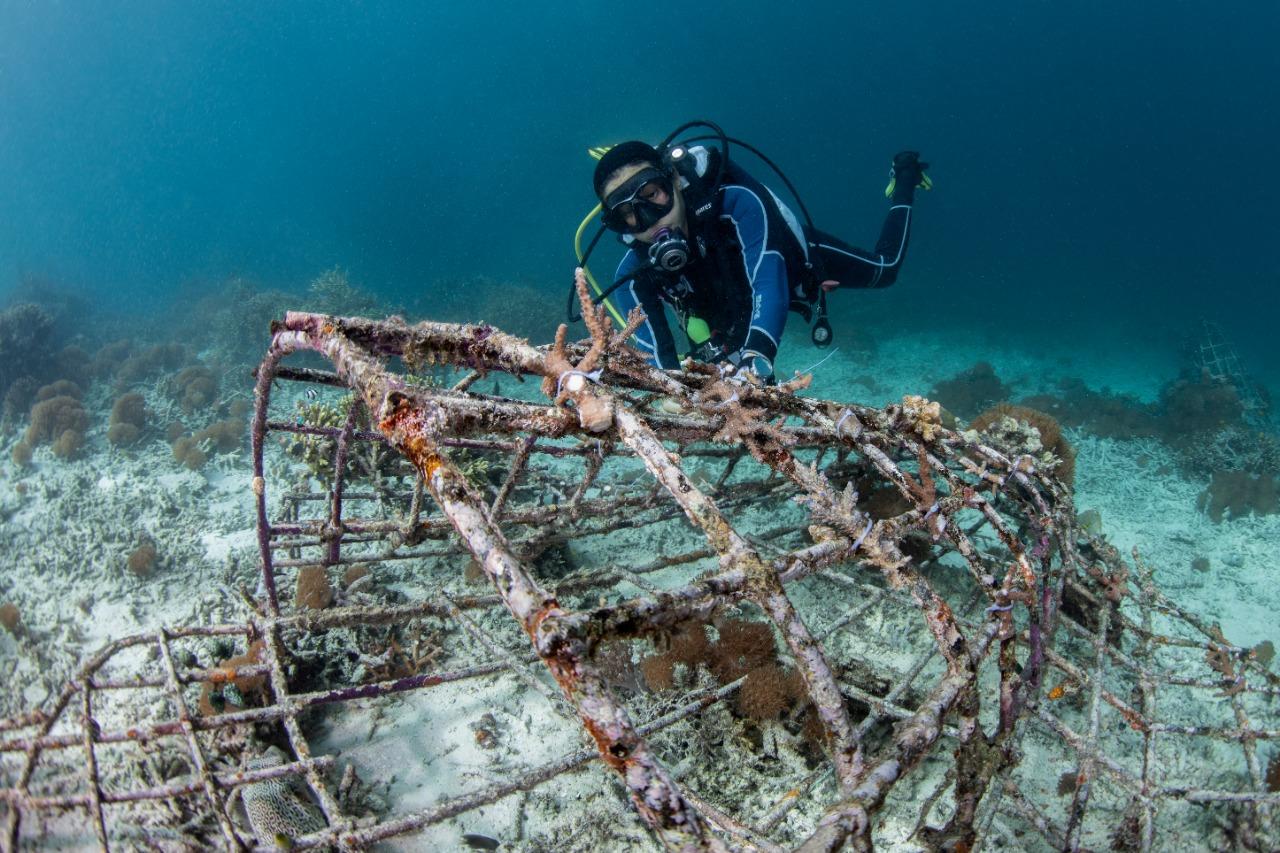divemaster and marine ecology intern transplanting coral fragments underwater in Raja Ampat