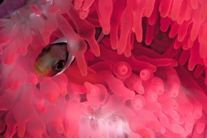 a clownfish peeking out of a pink anemone underwater