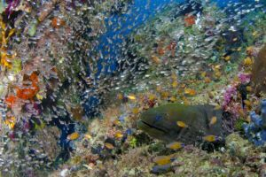 a moray eel surrounded by tiny glass fish showing the beauty of Raja Ampat diving