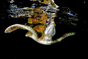 a sea turtle right below the surface spotted while scuba diving in Raja Ampat
