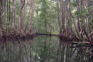 mangrove area on Batanta island in Raja Ampat