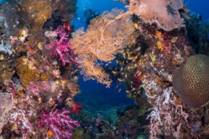 colorful coral ensemble with diver in the background encountered while diving with Papua Explorers