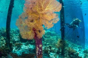 Coral Underneath Jetty with Diver in distance while diving with Papua Explorers