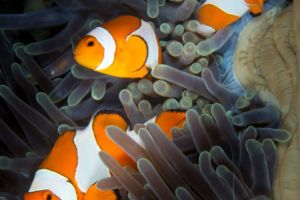 clownfish and glass-shrimp in a blue-purple anemone