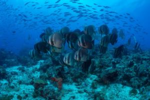 a group of batfish swimming on top of a coral reef with a variety of other fish in the backgrund encountered while diving with Papua Explorers