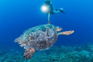 diver watching a hawksbill turtle while diving with Papua Explorers