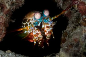 mantis shrimp looking out of its hole encountered while diving near Papua Explorers Dive Resort