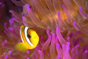 a clownfish in a pink and orange anemone encountered while diving in Raja Ampat