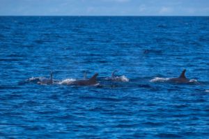 five dolphins with their back and dorsal fin exposed encountered on the boat ride in between dives in Raja Ampat