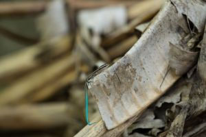 small lizard with a turquoise tail sitting on a dried palm leaf in Raja Ampat