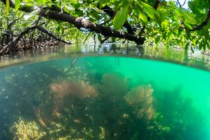 colorful soft corals in shallow water with mangroves soaring above during snorkeling in Raja Ampat