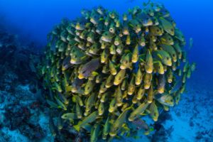 school of sweetlips densely crowded together with diver in the background close to Papua Explorers Dive Resort